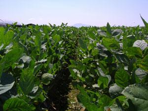 茶豆の産地として有名な新潟市新通地区の茶豆畑